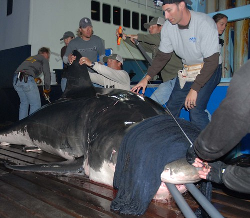 New Tags Deployed on White Sharks