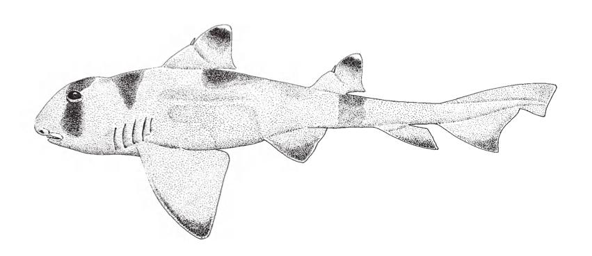 The Oman Bullhead Shark (Heterodontus)
