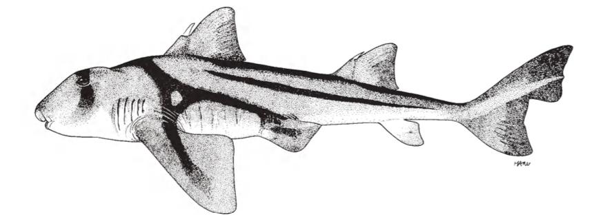 The Port Jackson Shark (Heterodontus Portusjacksoni)