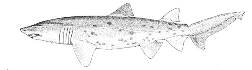 The Sand Tiger Shark (Carcharias Taurus)