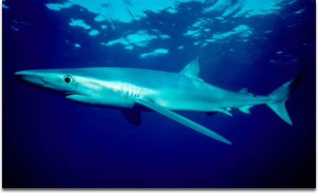 Image of Blue Shark - Prionace glauca - in open ocean