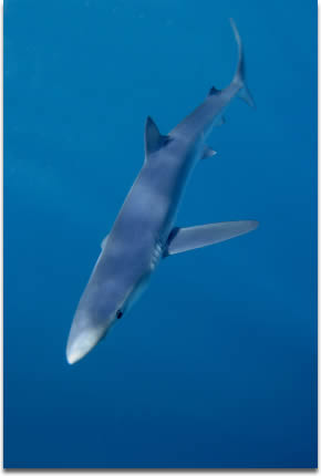 Image of Blue Shark out in the deep blue 70 miles out of Cape Town
