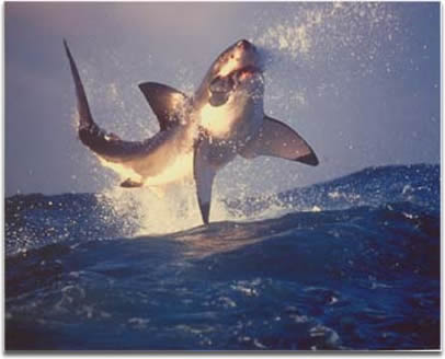 Image of airborne Great White Shark
