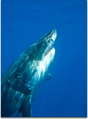 Image of Great White Shark Rising - Guadalupe Island