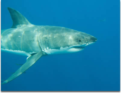 Image of A Great White Shark photographed at Guadalupe Island Mexico.