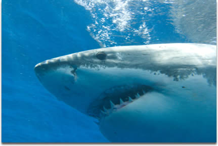 Image of great white Sharks head