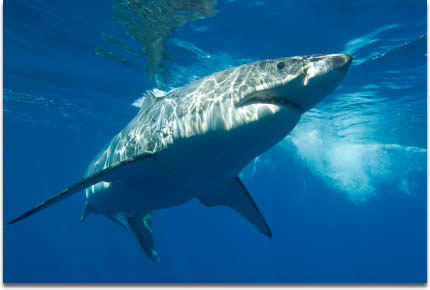 Image of Great White Shark taken at Guadalupe Island, Mexico