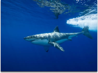 Image of a Great White Shark Carcharodon carcharias