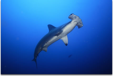Image of Scalloped Hammerhead Shark Sphyrna lewini photographed at Cocos Island.