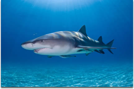 Image of A Lemon Shark glides through the water in the Bahamas Banks