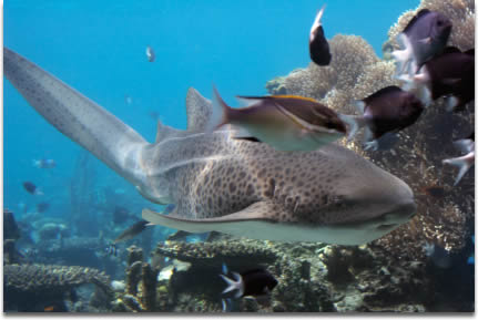 Image of Leopard shark swimming over reef with fish