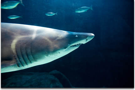 Image of Ragged-tooth shark in dappled sunlight