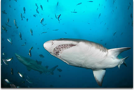 Image of A pair of Sand tiger sharks, also called Ragged tooth sharks, cruise the reef in Western Cape, South Africa