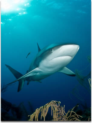 Image of Caribbean Reef Shark cruising over soft corals, with a little remora along for the ride