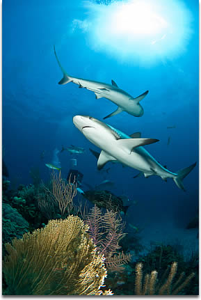 Image of Reef Sharks