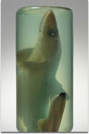 Image of a shark embryo in formaldehyde