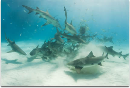 Image of sharks in a feeding frenzy