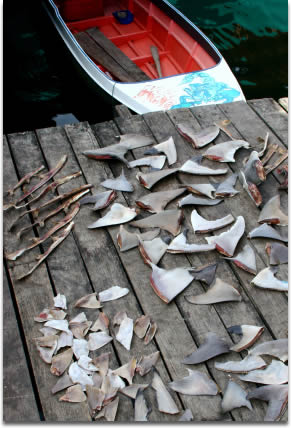 Image of Dried shark fins, Semporna, Malaysia