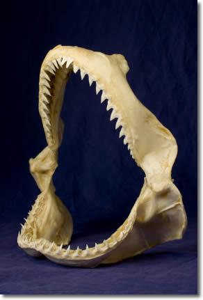 Image of Large Sharks Jaws