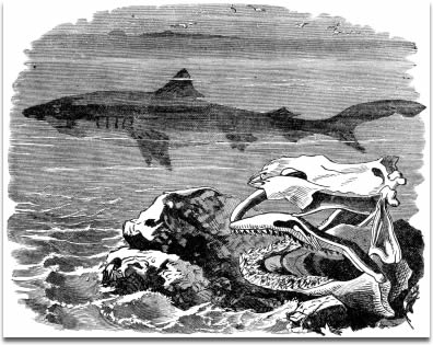 """Image of Engraving of """"Blue Shark (Squalus glaucus)""""published in """"The New Illustrated Natural History""""by Rev. J.G. Wood in 1874."""
