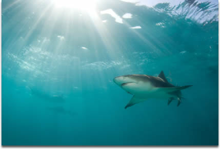 Image of A lemon shark - Negaprion brevirostris - swims above as a burst of sunlight breaks through the ocean's surface