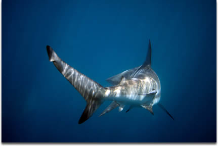 Image of a black tip sharks tail