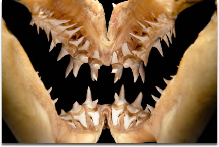 Image of Well preserved Mako shark jaws iluminated to show teeth rows and jaw structure