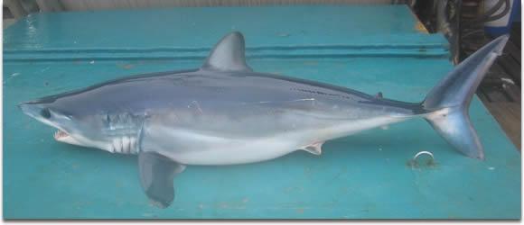 Image of shortfin mako shark (Isurus oxyrinchus)