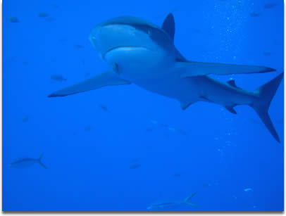 Image of a Silky shark in Mexico