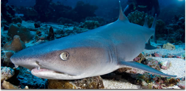 Image of a Whitetip reef shark - Triaenodon obesus - laying on the sea floor in French Polynesia