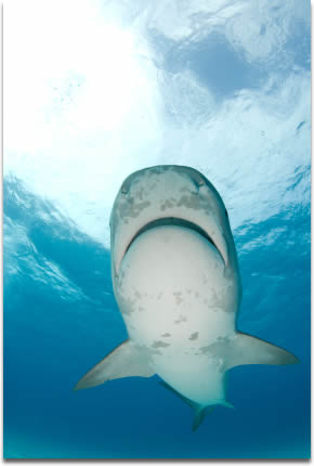 Image of a Tiger Shark swims by at Tiger Beach in the Bahamas