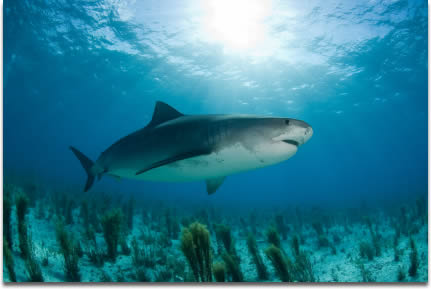 Imagae of a Tiger shark hunting in tropical waters