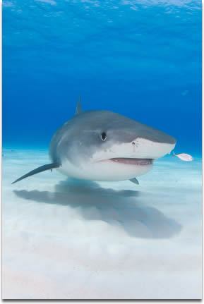 Image of Tiger shark