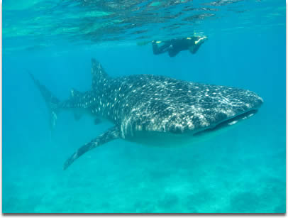 Image of Whale shark - Rhincodon typus - with snorkeler